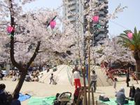hanami2011_1.jpg