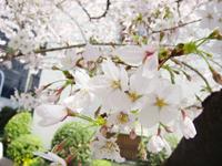 hanami2011_3.jpg